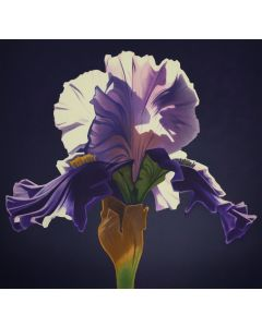 Ed Mell - Morning Iris (Lithograph)