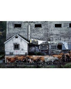 Nathan Benn - Mostly Jersey Cattle, Topsham, Vermont, 1984