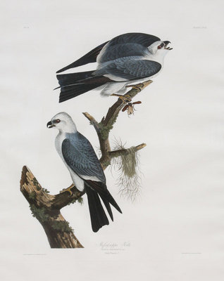 "John James Audubon, Mississippi Kite, Original Print fromt he First Edition of ""Birds of America"" 30"" x 24"""