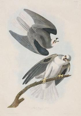 "John James Audubon, Black Winged Hawk, Original Print from 2nd Edition of ""Birds of America"" 32"" x 23"""