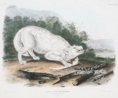 "John James Audubon, White Wolf, Original Print from ""Mammals of North America"" 21"" x 25"""